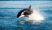 Balenele Bitcoin acumulează
